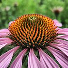Purple Cone Flower by SharonAHenson