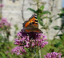 Red Admiral by Alan Reid