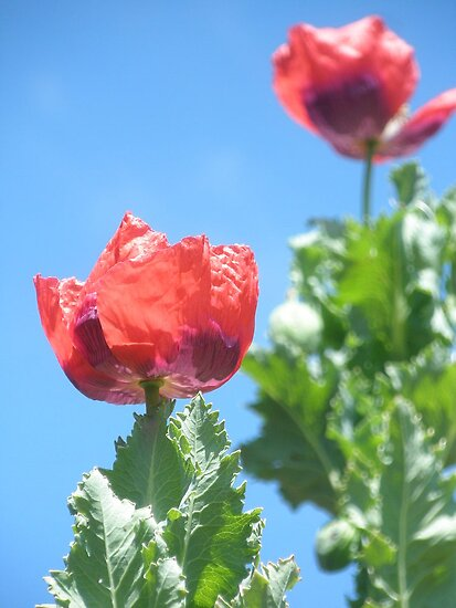 Tall Poppies by Petehamilton