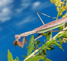 Shy Mantis on a Sunny Day by David Lamb