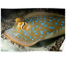 Blue Spotted Lagoon Ray Poster