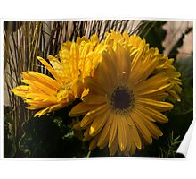 Three Sunshine Yellow Gerbera Daisies Poster
