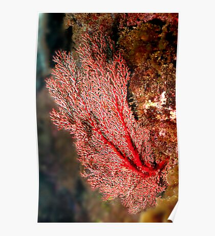 Red Fan Coral Poster