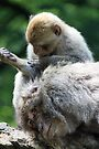 Barbary Macaque II by Debbie Ashe