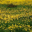 buttercup field by linsads