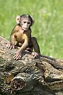 Baby Barbary Macaque by Debbie Ashe
