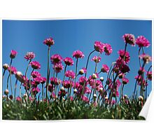 candy tuft Poster