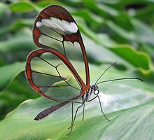 Greta Oto (Glasswing) by David Tiller