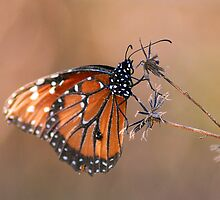 Viceroy: Orange on black butterfly 574 by michaelBstone