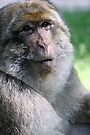 Barbary Macaque III by Debbie Ashe