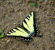 Sediment Sipper - Tiger Swallowtail by Tony Wilder