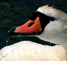 Swan Portrait by snapdecisions