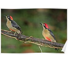 Pair of Black-Cheeked Woodpeckers Poster