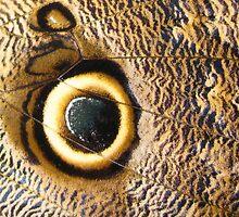 Owl Butterfly by David Tiller
