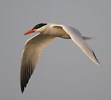 Caspian Tern in Flight by Paulette1021
