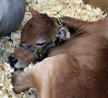 Sleepy Miniature Zebu Calf by AuntDot