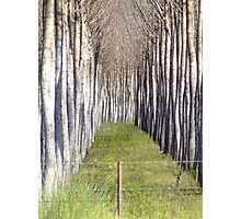 Cricket bat willows Photographic Print