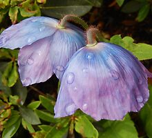 Blue Poppy Pair - Meconopsis by Babz Runcie