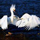 Egret's Fighting by Paulette1021