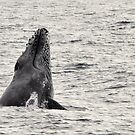 Whale Season - Moreton Bay 2010 by Barbara Burkhardt