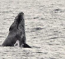 Whale Season - Moreton Bay 2010 by Barbara Burkhardt