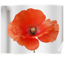 The Common Poppy Poster
