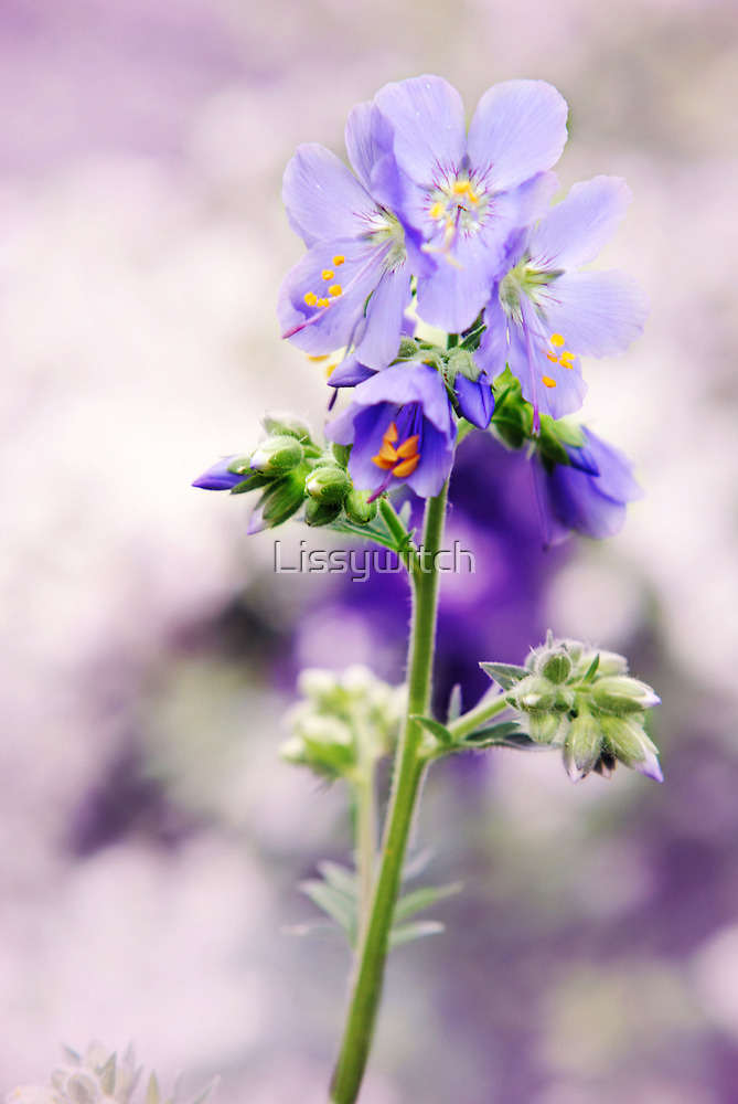 Polemonium by Lissywitch
