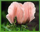 Pink Poppy by LudaNayvelt