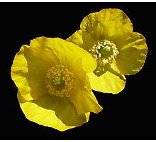 Yellow poppy Photographic Print