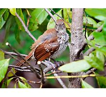 Brown Thrasher Photographic Print