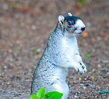 BLUE EYED FOX SQIRREL by imagetj