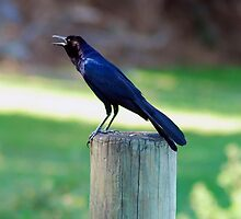 Crow hanging out at Trimble Park N.W. Orange Co. FL by michaelBstone