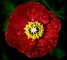 Papaver by Robert Meyer