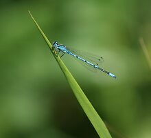 Blue Dragon Fly by davesphotographics