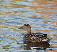 Mallard on Bright Water by Ann Miller