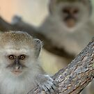 Vervet monkeys by Yves Roumazeilles