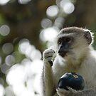 Vervet monkey by Yves Roumazeilles