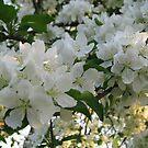 Apple Blossoms by Linda Miller Gesualdo