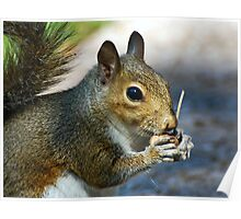 Squirrel Enjoying His Morning Breakfast Poster