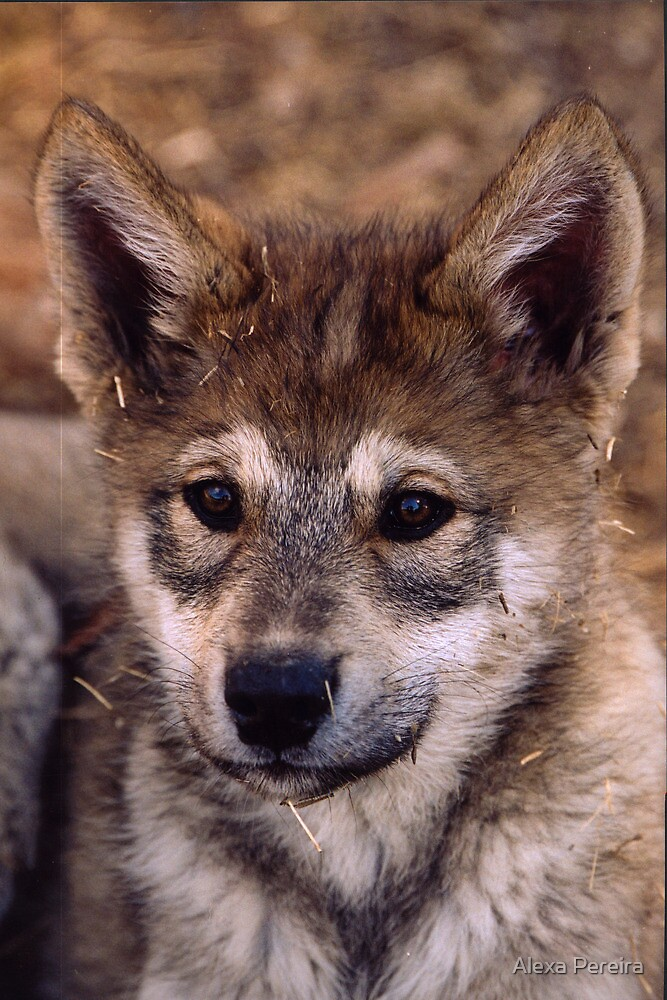 Alaskan Timber Wolf Cub by Alexa Pereira