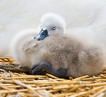 Day old Cygnet  by Elaine123