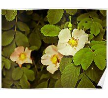 Alberta Wild Rose Poster