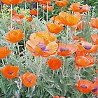 Morning Glow Poppies by TheBlueDhalia
