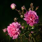 Climbing Roses by Nancy Bray