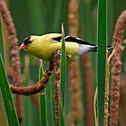 Goldfinch on Cattail - Ottawa, Ontario by Michael Cummings