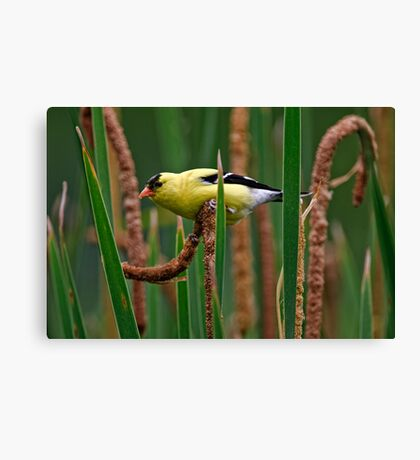Goldfinch on Cattail - Ottawa, Ontario Canvas Print