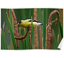 Goldfinch on Cattail - Ottawa, Ontario Poster