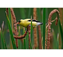 Goldfinch on Cattail - Ottawa, Ontario Photographic Print