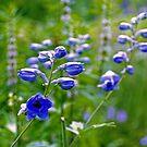 Creeping Bellflowers - Campanula rapunculoides by jules572