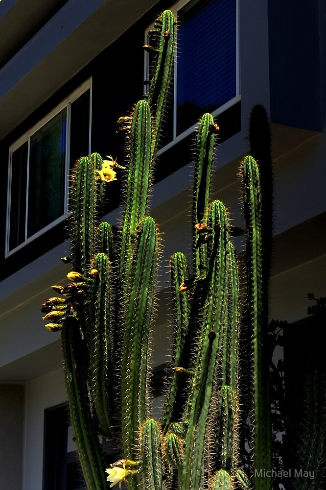 Cactus Blossom Time by Michael May
